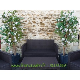 Location plante Bougainvillier Blanc