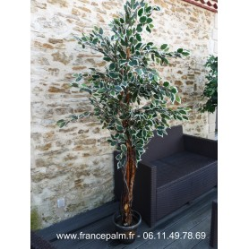 Location Ficus Argenté