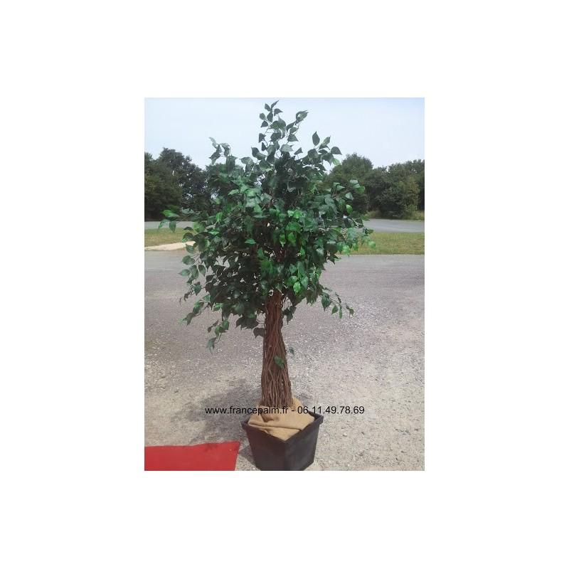 Location plante Ficus classique